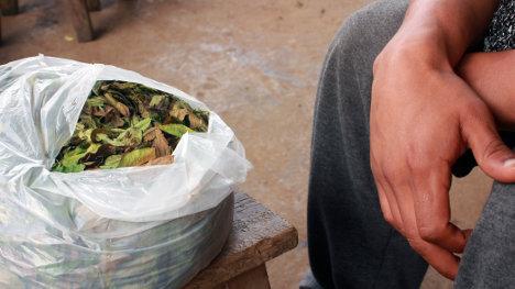 Cosecha de hoja de coca en el Cauca.