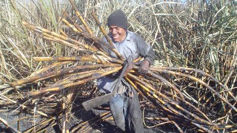 La mecanización del corte de la caña ha producido miles de despidos en la industria azucarera.