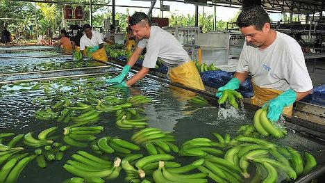Trabajadores bananeros de Urabá